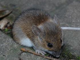 Очаг заражения «мышиной лихорадкой» в Башкирии по-прежнему остается самым крупным в России
