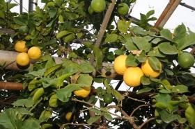 В уфимском лимонарии появились дыневидный «Урман», оранжевый «Ляйсан» и арбузовидный «Салават»