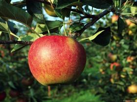 apple_110315
