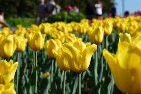 yellow-tulips_250415