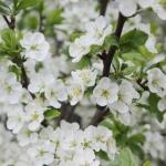cveti-yabloni_150515