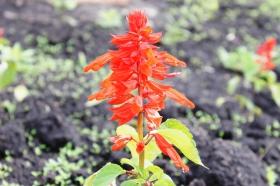 red-flower_200515