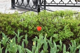 tulip-tyulpan_040515