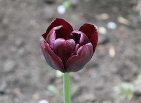 tulip_250515