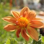 orange-flower_230615
