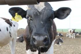 В Башкирии охотники перепутали дичь с коровой
