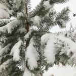 sosna-sneg_280318