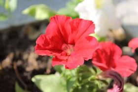 red-flower_100715