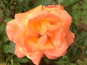 rose-roza_210617