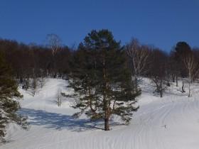 zima-winter-sosna050315