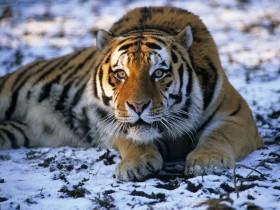 tiger_030119