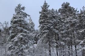 zima-sosni-priroda-3-261118