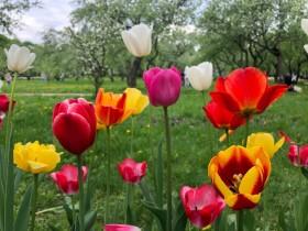tulips-tyulpan_120519