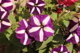 flowers-petunya_170715