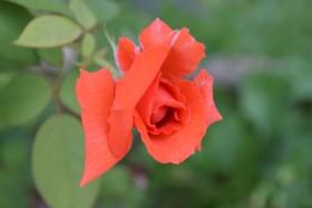 rosa-roza_140815