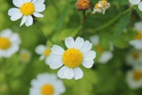 flower-romashki_170819