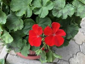 flower-geran_120620