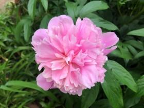pion-flower_100620