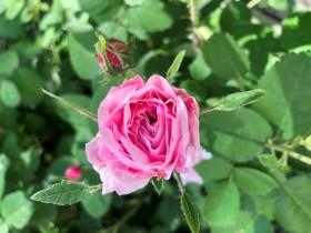 rose-roza1_170620