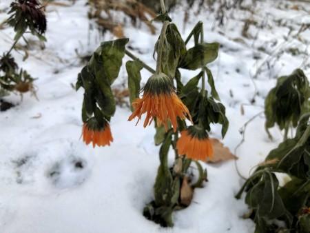 zima-zamerzshie-cveti_261120