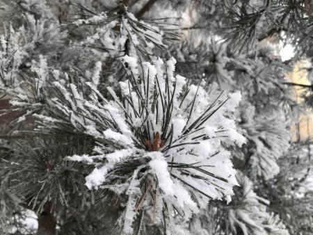 zima-sosna-sneg_041220