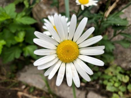 flower-romashka_140621