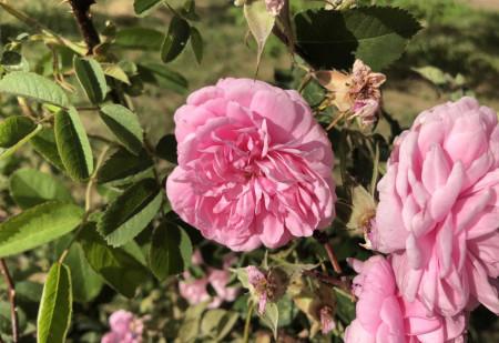 roza-rose_250621